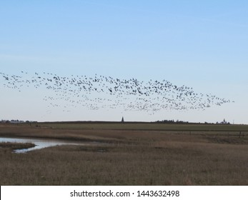 A swarm of wild geese in the sky on the island of Amrum (Schleswig-Holstein, Germany)
