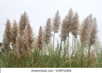 swaying pampas grass