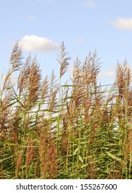 Swaying reeds in the wind against blue sky