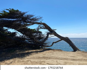 Swaying, Wind Shaped, Windswept,  Wind-Resistant Trees at Half Moon Bay coastal trail