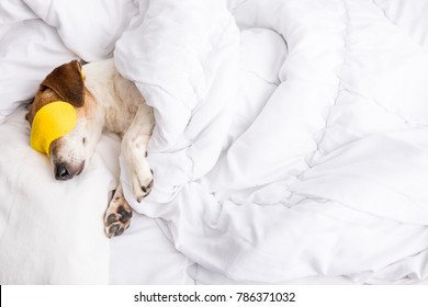 Sweat dreams. Cozy adorable sleeping pet in white bed and yellow accessory