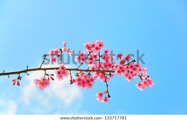 Sweaty Pink flower call Wild Himalayan Cherry