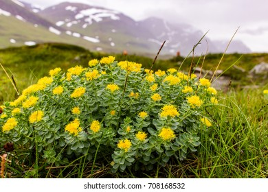 In Sweden mountains grow magic plant, which can cure from mostly all diseases