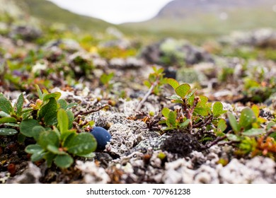 Sweden mountains are rich of berries.