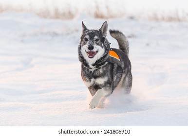 Swedish Elkhound in winter landscape