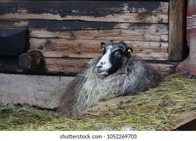 "Swedish ""gutefår"" Gute-sheep (Ovis aries domesticus) originates from Gotland, this is a female and both females and males have horns."