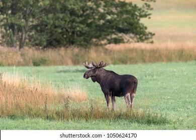 Swedish Moose In The Morning