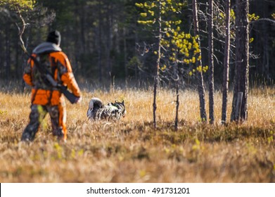 Swedish Moosehound in the fall hunting season