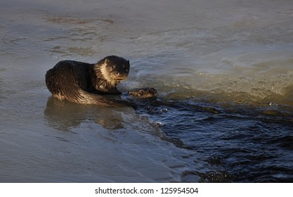 Swedish otter in natural frozen river area