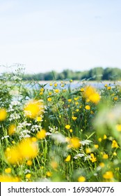 Swedish summer meadow by lake. Buttercups and cow parsley. Scandinavian midsummer.
