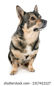 Swedish Vallhund in front of white background