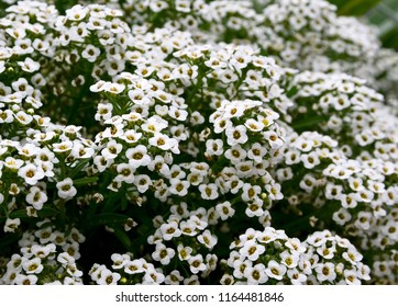 Sweet alyssum or Lobularia maritima white flowers with scent of honey.Alison blossoming in garden.Floral background. Selective focus.
