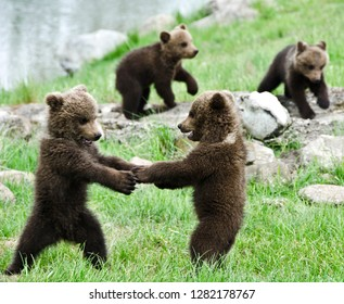 Sweet anf funny bear cubs playing with each other in the nature