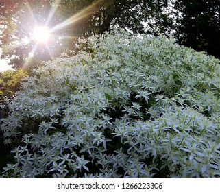 The Sweet Autumn clematis growing as a hedge.   These delicate flowers emit a very sweet smell attracting bees galore. The sun shines through the trees coming through as a star over the clematis hedge
