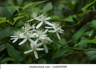 Sweet Autumn Clematis (Clematis terniflora) is blooming on vine up the tree, nicely fragrant in the late of summer in GA USA.