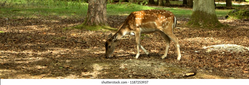 sweet bambi dear grazing panorama