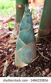 Sweet bamboo shoots from bamboo trees