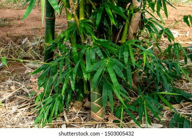 Sweet bamboo, Bamboo tree,  Bamboo shoot
