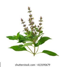 sweet basil flower