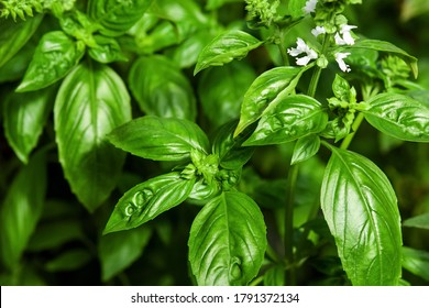 Sweet Basil green plants with flowers growing