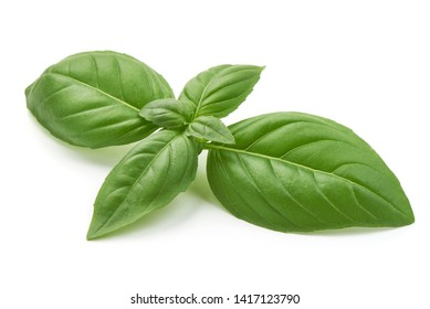 Sweet basil herb leaves, close-up, isolated on white background. Fresh Genovese basil.