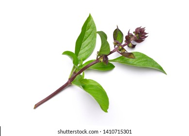 Sweet Basil leaf and flowerwith isolated on white background.