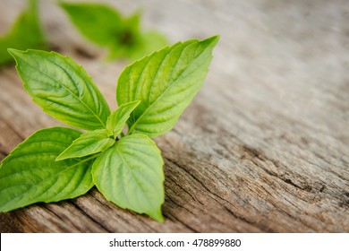 Sweet basil leaf plant on wooden table