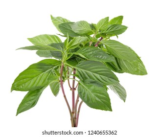 Sweet basil leaves Isolated on white background.