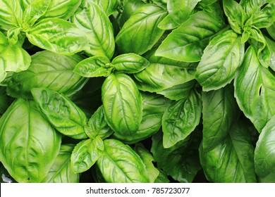 sweet basil leaves as nice natural food background