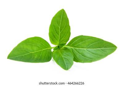 Sweet basil leaves on white background