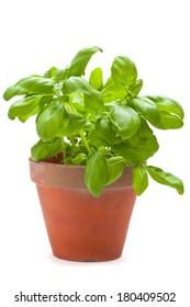 sweet basil plants isolated on white