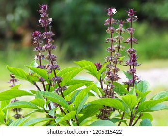 Sweet Basil, Thai Basil, Ocimum basilicum Linn