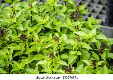 Sweet Basil, Thai Basil (Ocimum basilicum Linn)