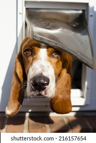Sweet Basset hound peaking out of its dog door
