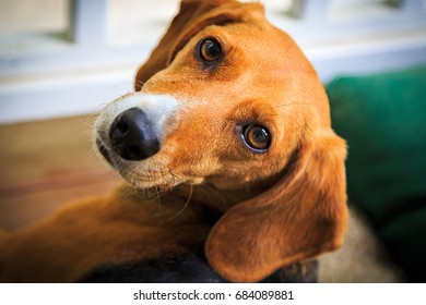 Sweet Beagle dog looking into the camera with an adoring expression