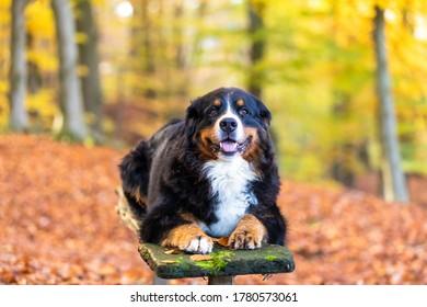 sweet bernese mountain dog in autumn