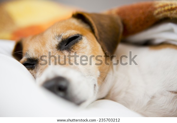 sweet best dog muzzle sleeping in bed