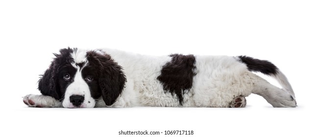 Sweet black and white Landseer pup / dog laying down side ways with head on paws isolated on white background looking innocent into lens
