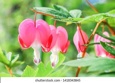 Sweet bleeding heart or Asian bleeding-heart (Lamprocapnos) flower growth and blossom in spring season with flower in heart shape , green leaves, background blurry bokeh. sensitive focus.
