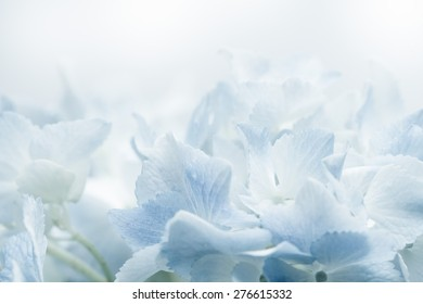 Sweet blue Hydrangeas in soft color style for romantic background