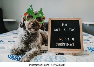 """Sweet brown spanish water dog in her home at Christmas time with an important message on her blackboard """"I am not a toy, merry Christmas"""". Lifestyle."""