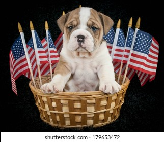 A sweet bulldog puppy sitting in a basket with American flags around him on a black background.