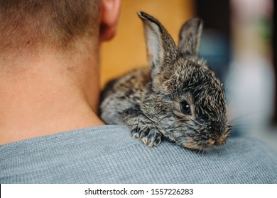 Sweet bunny on the shoulder of a human. Gray little rabbit.