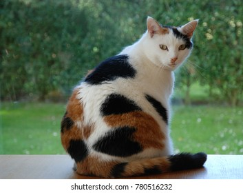 Sweet Cat looking out the window. Tortoiseshell and white cat. Lapjeskat.