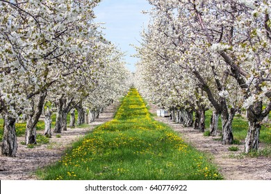 Sweet cherries are in full bloom in this orchard in northern Michigan