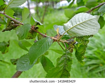 Sweet cherry branch with the leaves damaged by a plant louse