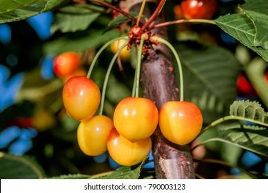 Sweet Cherry (Prunus avium) in garden, Moscow region, Russia