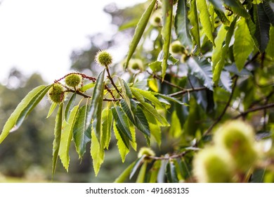 Sweet chestnut in autumn