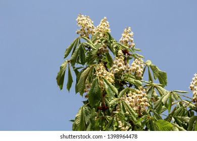 Sweet chestnut or Castanea sativa or Spanish chestnut or Portuguese chestnut or Marron substantial long lived deciduous tree with oblong lanceolate boldly toothed leaves and dense small white flowers