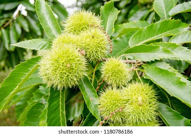 Sweet Chestnuts, latin name Castanea sativa, ripening on a tree in mid September, London.